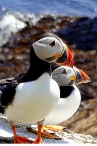 Puffin Paradise - Ireland's West Coast