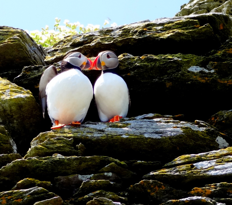 puffins kissing