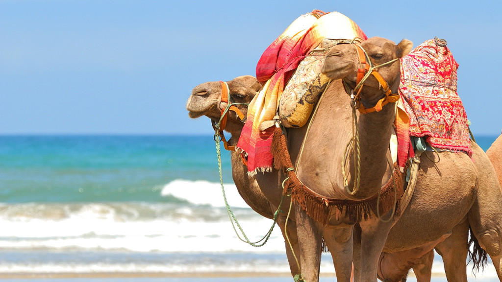 agadir-morocco-camel-on-beach