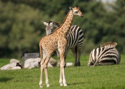 fota-wildlife-giraffe