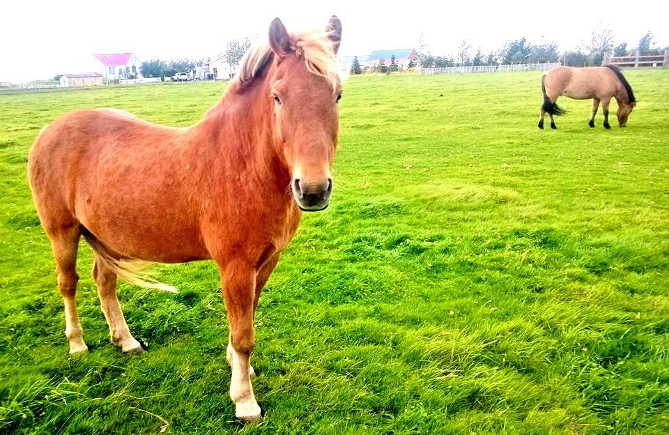 horses-golden-circle-iceland