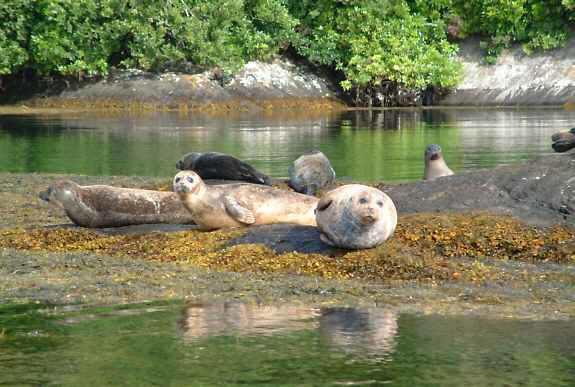 seals-garnish-island