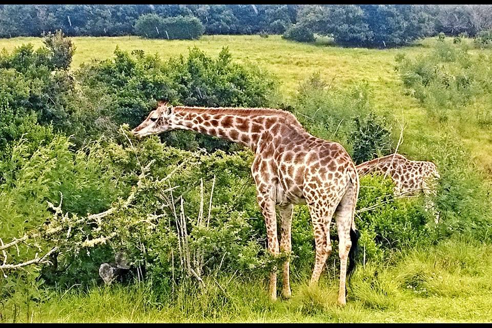 giraffe-safari