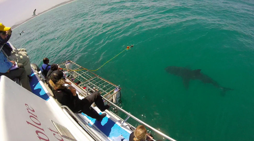 great-white-shark-cape-town