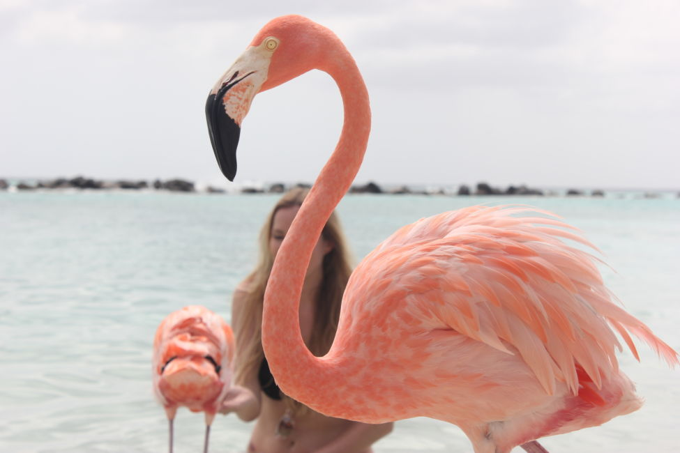 Flamingo portrait aruba