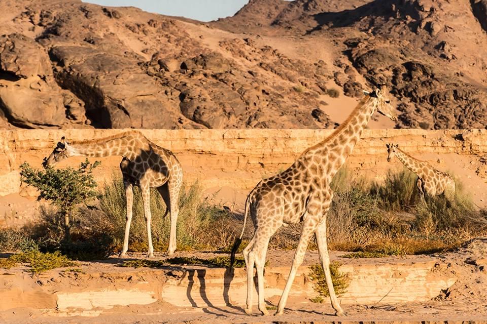 giraffe conservation namibia