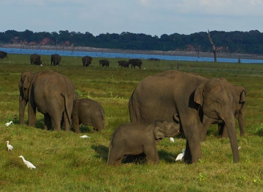 Elephants in Sri Lanka – Best National Parks To See Them In The Wild