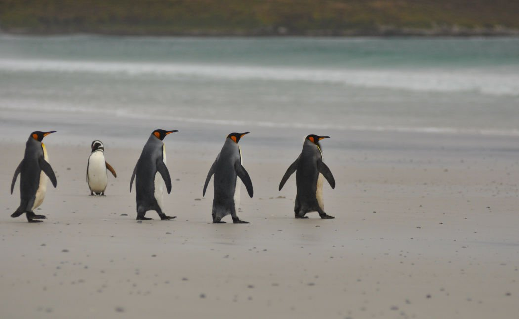 falkland islands penguins