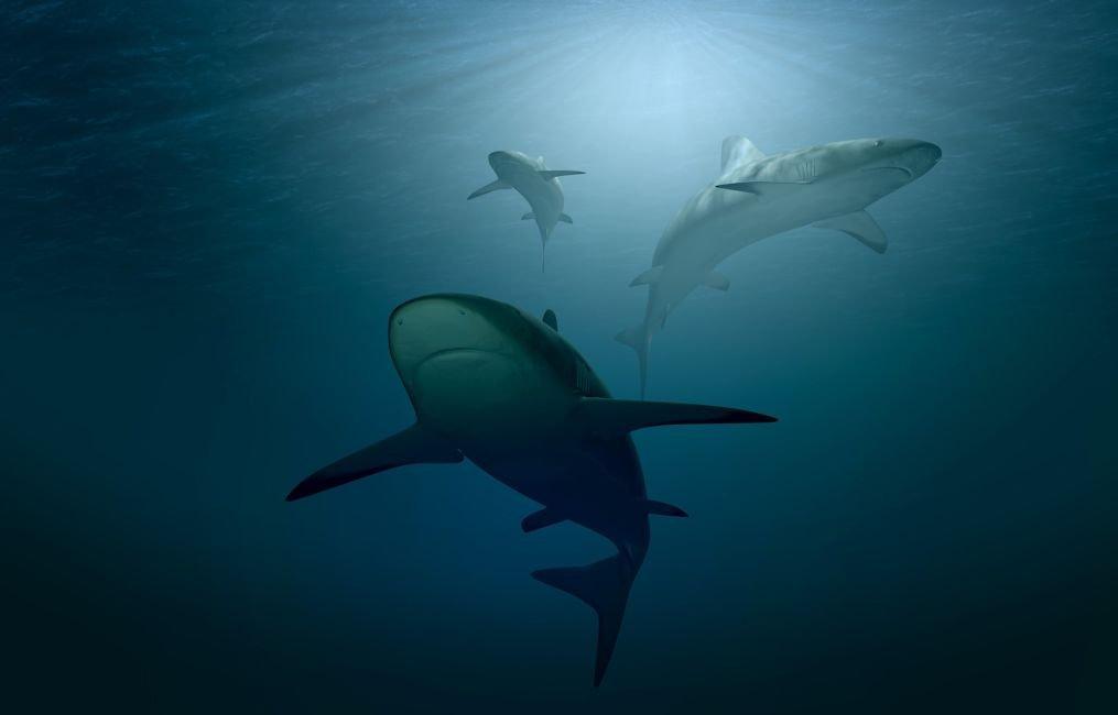 sharks in belize