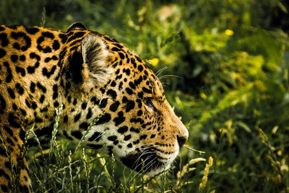 jaguar in belize