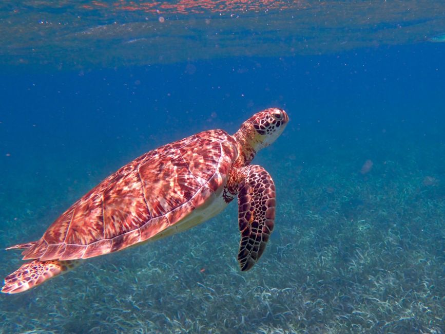sea turtle belize