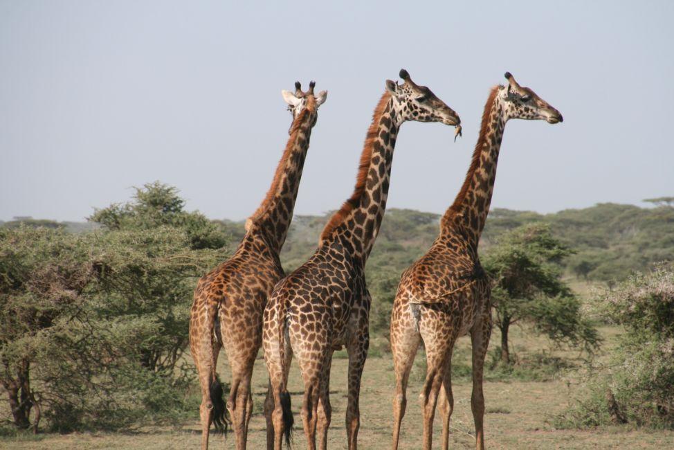 giraffes tanzania safari