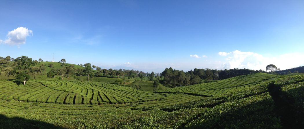 bandung tea plantations