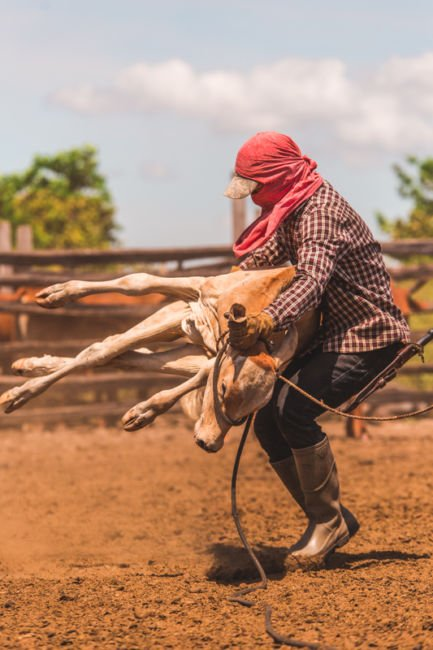 cattle branding in guyana