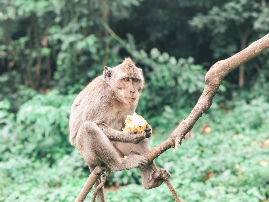 uluwata temple monkey