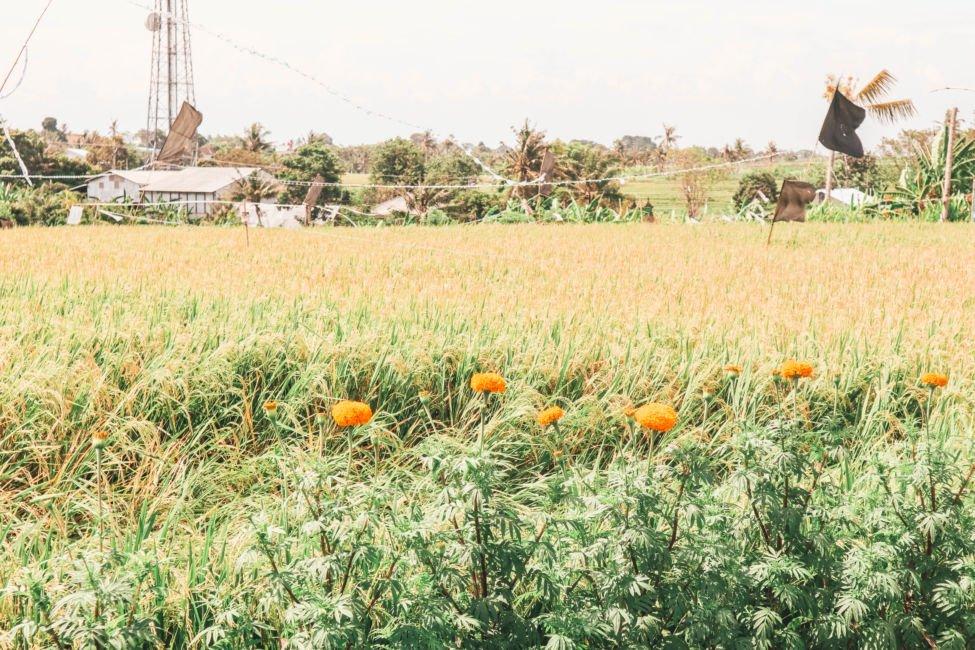 rice fields near canggu
