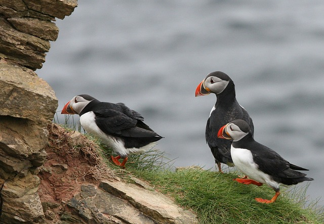 puffins kalsoy