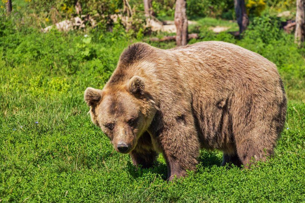 brown bear spotting