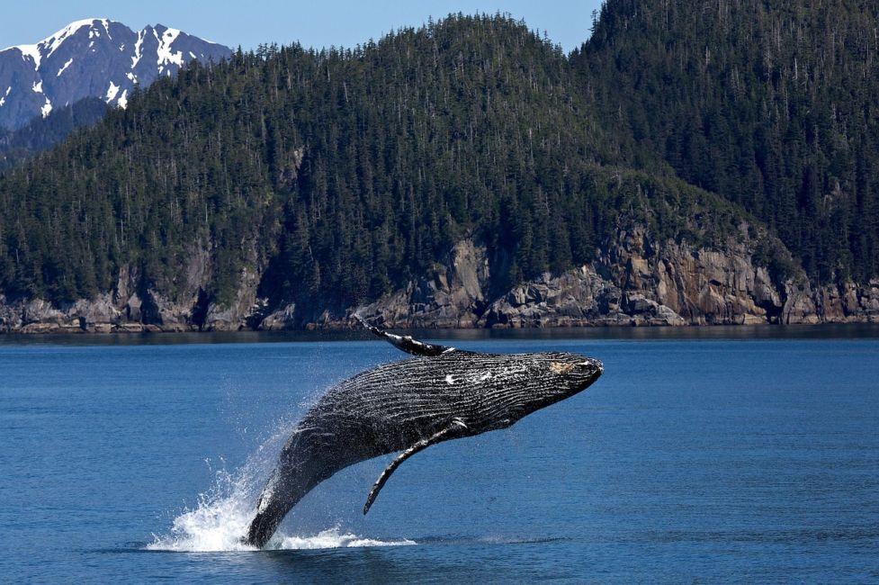 humpback whales Alaska