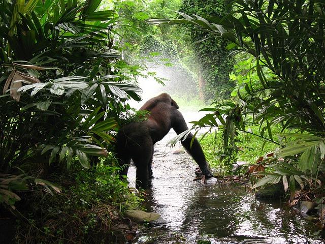 gorilla trekking rwanda // things to do in Rwanda