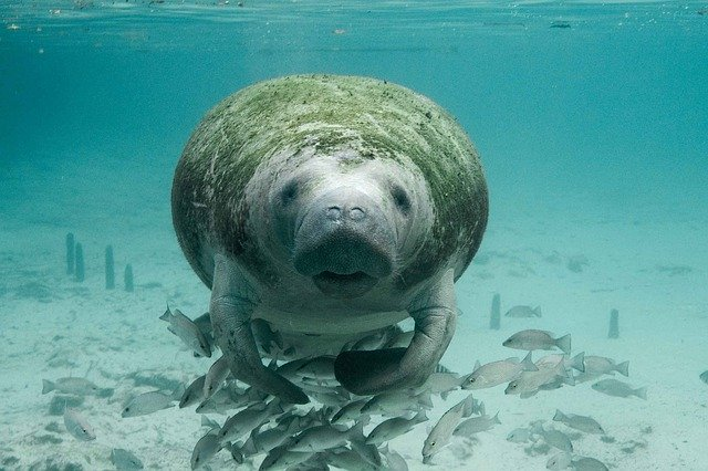 snorkelling with manatees